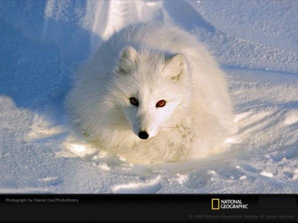 Volpe bianca