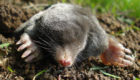 how to get rid of moles in your yard
