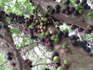Jaboticaba fruit and tree