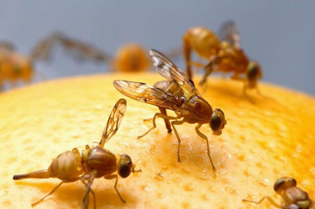 Where fruit flies come from