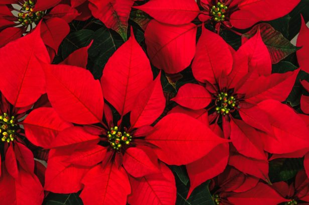 How to keep poinsettias alive