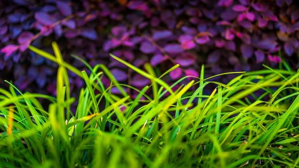 loropetalum-foliage