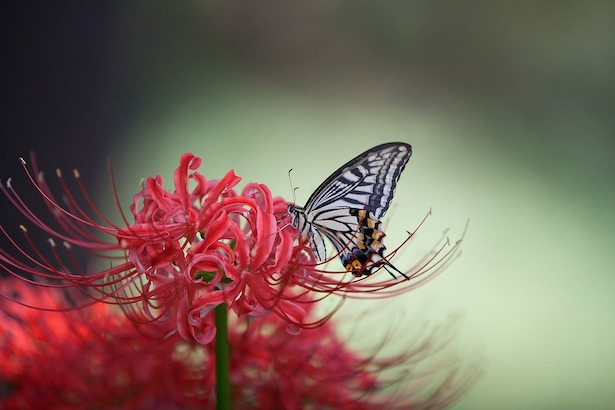 red spider lily butterfly