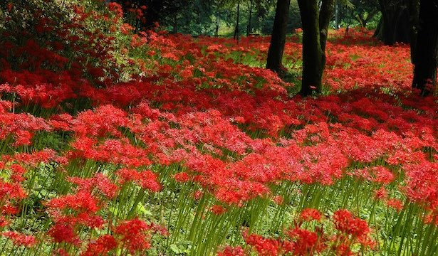 field of red spider lilies