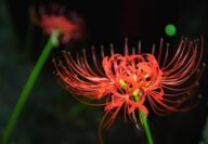 red spider lily close up