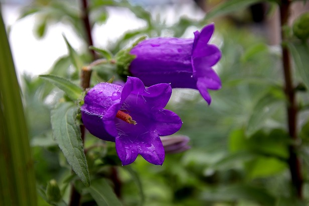 campanula-bellflower