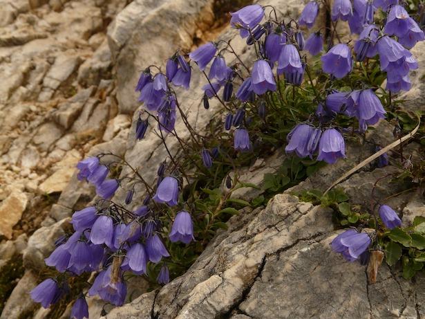 dwarf-bellflower-campanula