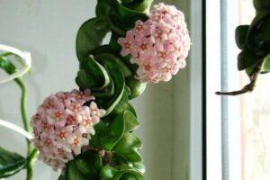 hindu-rope-plant-growing