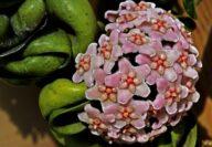 hindu-rope-plant-flowers