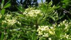 pittosporum-foliage-flowers