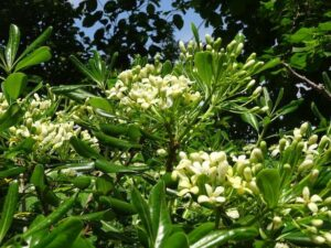 pittosporum-foliage-flowers