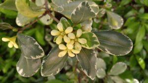 pittosporum variegated