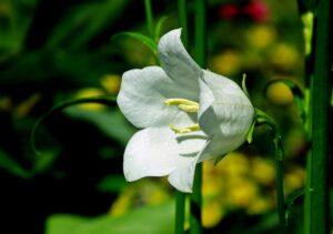 carpathian-bell-campanula-carpatica